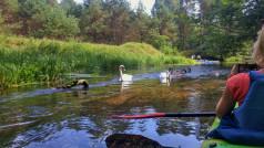 kajaki mijają łabędzie na rzece